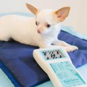 Photonendusche und Magnetfelddecke auf der ein weißer Chihuahua liegt