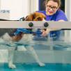 Beagle geht im Wasserlaufband und schaut über den Beckenrand
