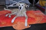 Rückenmarkinfarkt Hund